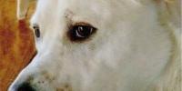 Pflegeplatz für Labrador Fritzi gesucht